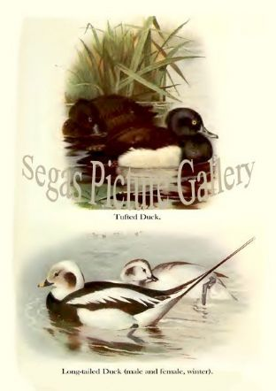 Tufted Duck & Long-tailed Duck
